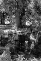 Pond with Cypress Knees